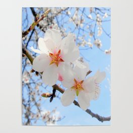 plum tree blossoms closeup Poster