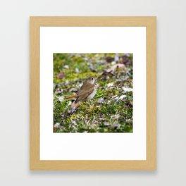 Hermit Thrush Framed Art Print