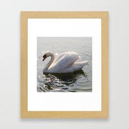 one swan a swimming Framed Art Print