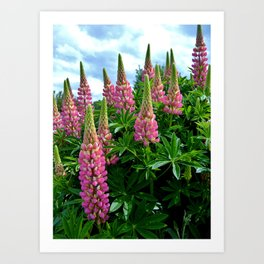 Rose Lupins in the Garden Art Print