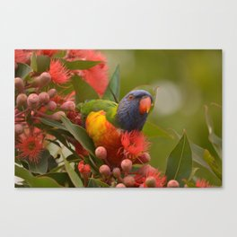 Lorikeet Love Canvas Print