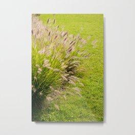 Grass clump Pennisetum alopecuroides Metal Print