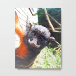White-lipped tamarin monkey Metal Print