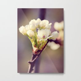 Pear Tree Blooming Metal Print