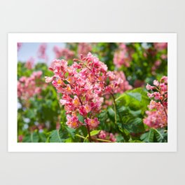 Aesculus red blossom cluster Art Print