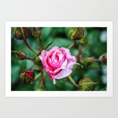 Dew on Rose Art Print
