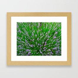 Lavender Close Up Framed Art Print