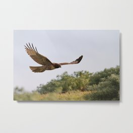 Red-tailed Hawk in Flight Metal Print