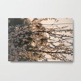 Cherry Plum at Sunset Metal Print
