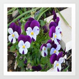 Purple pansy Art Print
