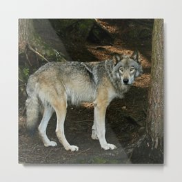 The wise wolf Metal Print