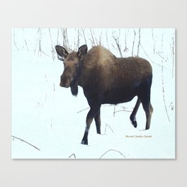 Alaska Moose Canvas Print