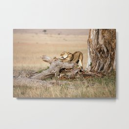 Lioness stretching Metal Print