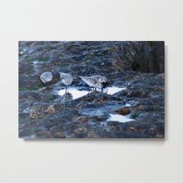 Sandpipers Birds feeding Rock Tide Pool Seashore Metal Print