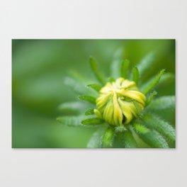 Tiny Budding Rudbeckia (Sunflower) Canvas Print