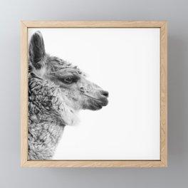 Llama Drama | Alpaca Animal Photography Framed Mini Art Print