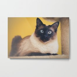 Siamese Cat Metal Print