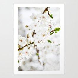 White blooming Art Print