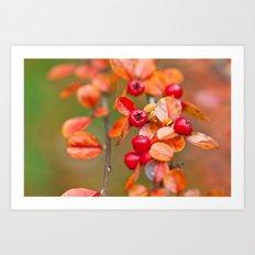 Autumnal Cotoneaster 9379 Art Print