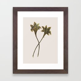 Indian Lily Daffodil Framed Art Print