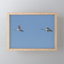 Two Tundra Swan Flying Framed Mini Art Print