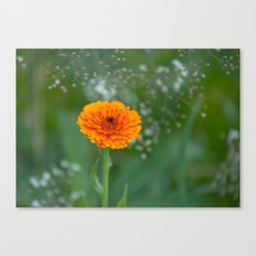 Calendula officinalis  5497 Canvas Print