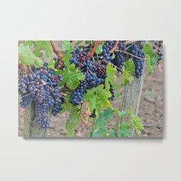 The Harvest-Bordeaux 2013 Metal Print