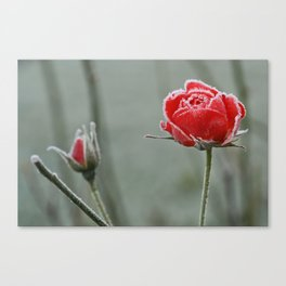 frosted rose and bud Canvas Print