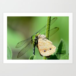 Dragonfly eating butterfly. Art Print