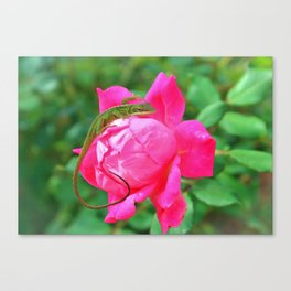 Baby Anole On Pink Rose Canvas Print