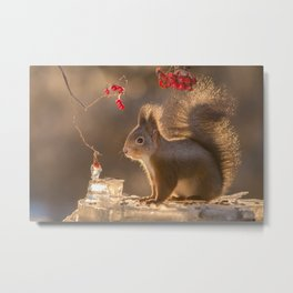 red squirrel bright tail Metal Print