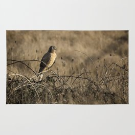 Northern Harrier at William L Finley Rug