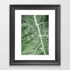 Rain water on a Purple Cauliflower leaf. Norfolk, UK. Framed Art Print