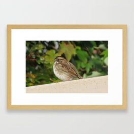 A White Throated Sparrow Moment Framed Art Print