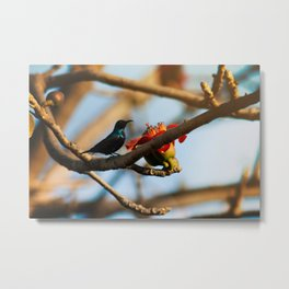 SunBird on a Bombax Ceiba, also known as red silk cotton or red cotton tree. Metal Print