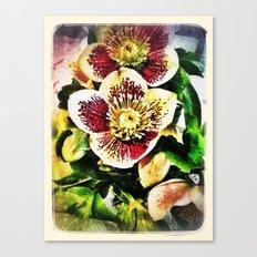 Hellebore Canvas Print