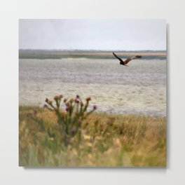 Harrier over the field Metal Print