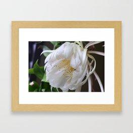 Unusual flower - Queen of the Night (Epiphyllum Oxypetalum) Framed Art Print
