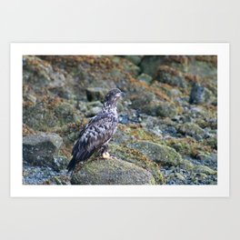 Young Eagle Art Print