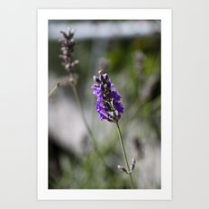 lavendar Art Print