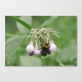 Bumble bee collecting nectar from a Common Comfrey flower. Norfolk, UK. Canvas Print