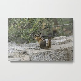 Chipmunk Feeding Metal Print