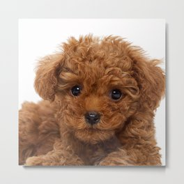 Little Brown Toy Poodle Metal Print