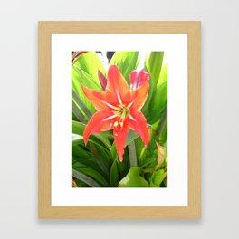 Orange Amaryllis Flower Blooms in Springtime  Framed Art Print