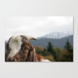 Look who's complaining, funny goat photo Canvas Print