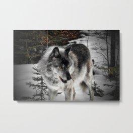 Hungry Wolf Metal Print