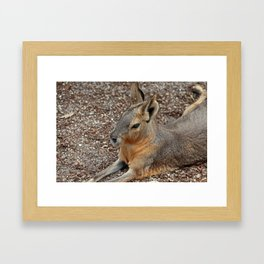 Patagonian Cavy II Framed Art Print