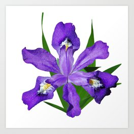 Dwarf crested Iris, Iris cristata on white Art Print