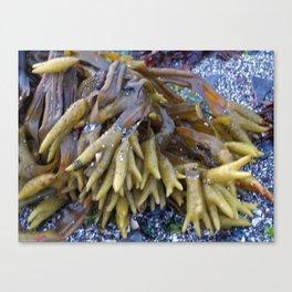 Seaweed bladders -  Bladder wrack  Canvas Print