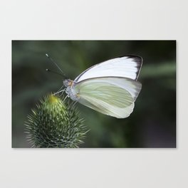 White Butterfly on Thistle Canvas Print